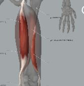 Animated graphic of hamstring muscle